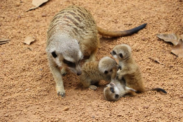 One-month-old meerkat goes missing from Perth Zoo