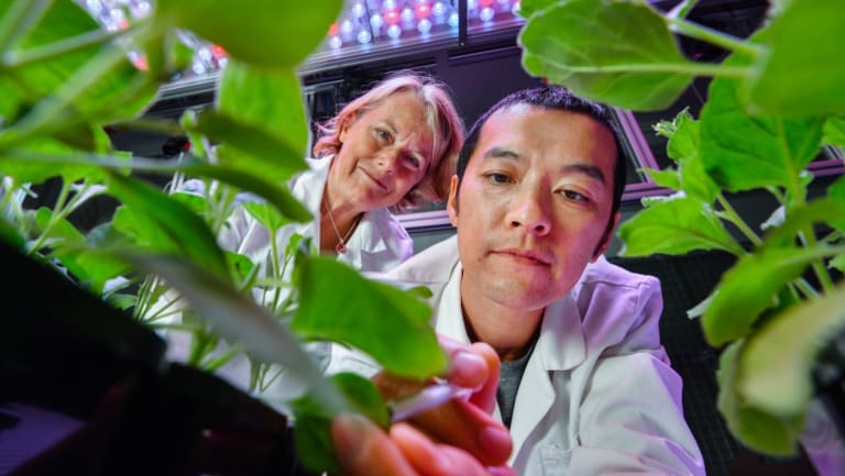 Professor Marilyn Anderson and research fellow Dr Simon Poon inspect their desert tobacco plants.