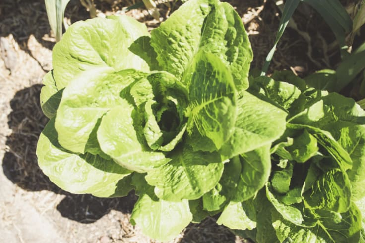 Cos lettuce in the human salad bar.