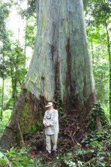 Peter Hitchcock dwarfed by a giant rainbow gum, Ceram, Indonesia.