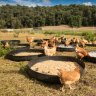 Do chickens actually like being free-range?