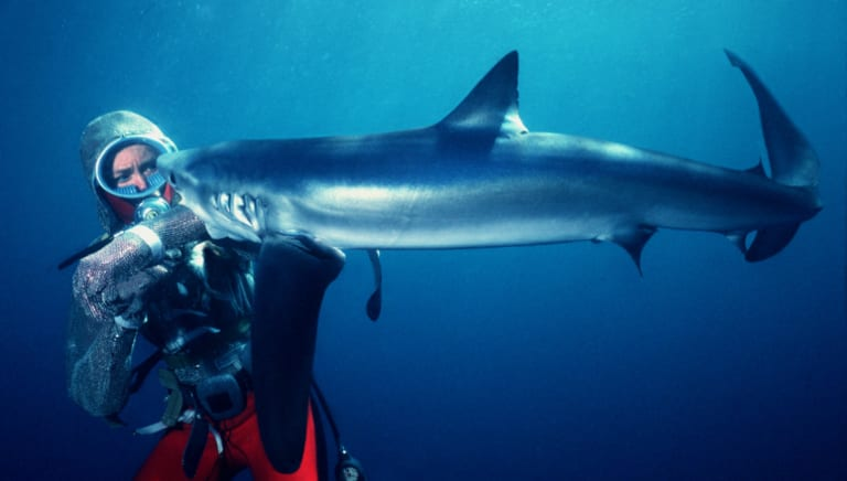 Valerie Taylor being bitten by a blue shark off San Diego while testing a steel mesh suit.