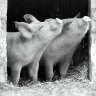 Pig in the middle: looking our food choices in the eye