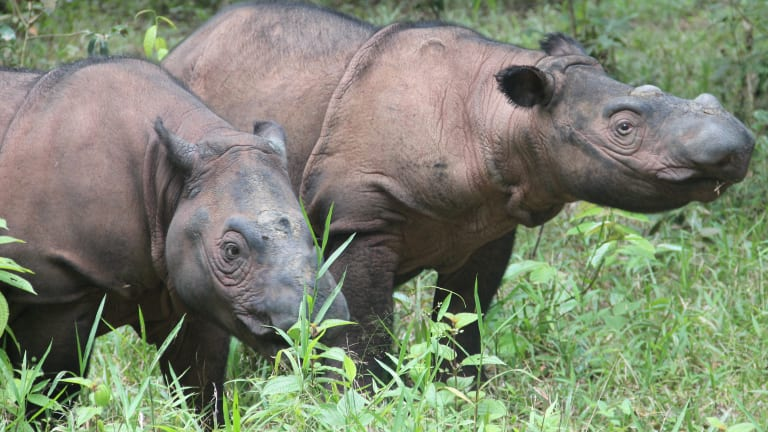 There could be as few as 30 Sumatran rhinos left in the wild.