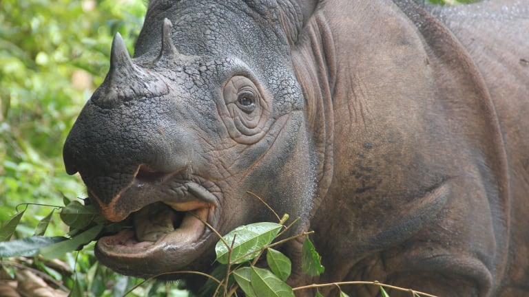 A Sumatran rhinoceros, arguably the most imperiled large terrestrial mammal on the planet.