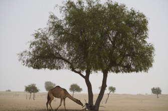A camel grazes during a sandstorm on the outskirts of Dubai, United Arab Emirates.