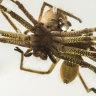 Stunning photos capture huntsman spiders mating at Taronga Zoo