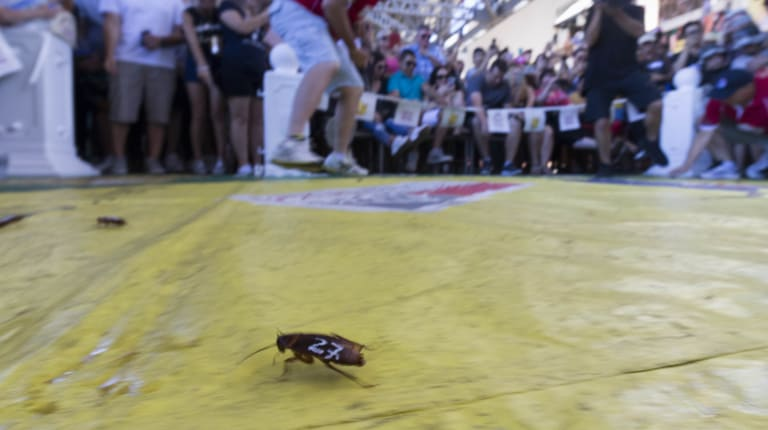 A cockroach in the annual Australia Day Cockroach Races at the Story Bridge Hotel in Brisbane on Friday.