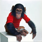 Nim the chimpanzee was sent to live with a human family in New York in the early 1970s.