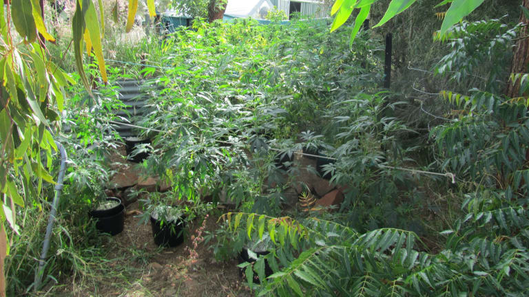Police allegedly found 70 cannabis plants while executing search warrants in Charters Towers.