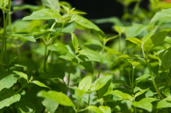 Native mint is a favourite that needs regular watering to be at its best.