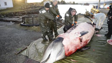 Researchers dissecting a two-tonne whale that was beached in shallow waters off Sotra, an island north-west  of Oslo.  It was found to have consumed quantities of plastic.