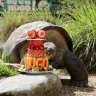'Not your regular tortoise': Reptile park's star turns 70 with giant shellebration