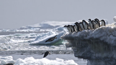 A photo provided by researchers shows Adelie penguins feeding on shrimplike krill, which give their guano a distinctive pinkish color observable from satellites.