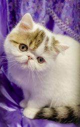 An Exotic Shorthair kitten.