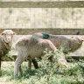 Surrendered sheep in quarantine after Queensland abattoir protest