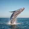 Humpback whales, like humans, also use the Gold Coast for a good time, new research has found.