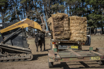 A bull watches on as farmer Mark Horan loads the trailer with hay from Victoria.