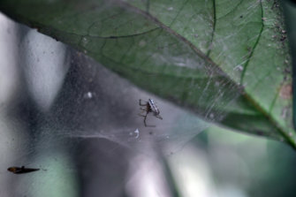 Zatypota larva killing its host.