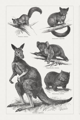 Artist engravings from 1897, clockwise from top: sugar glider, brushtail possum, koala, wombat, Eastern grey kangaroo.