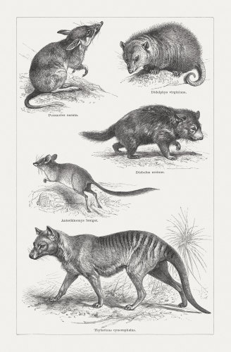 Artist engravings from 1897, clockwise from top: long-nosed bandicoot, Virginia opossum, Tasmanian devil, Thylacine or Tasmanian tiger (now extinct), kultarr.