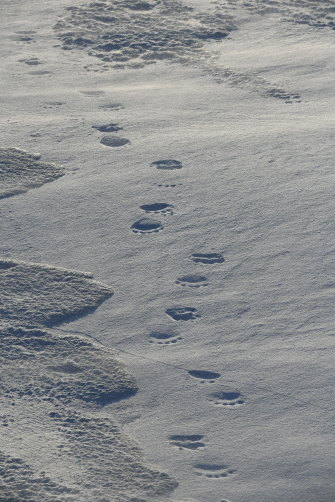 Polar bear tracks, Svalbard.