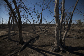 A dead stand of river red gums on a property owned by Garry and Leanne Hall on the Macquarie River, north of Warren.