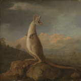 Kongouro from New Holland by George Stubbs.