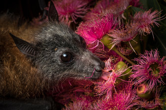 A rescued orphan feeds on eucalyptus pollen.