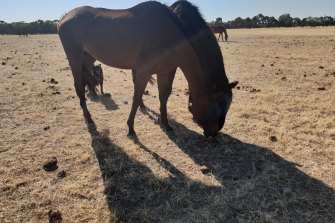Alan says if fireworks occur, the blind horse in this photo could be abandoned as its companion(the bell-wearer) runs off.