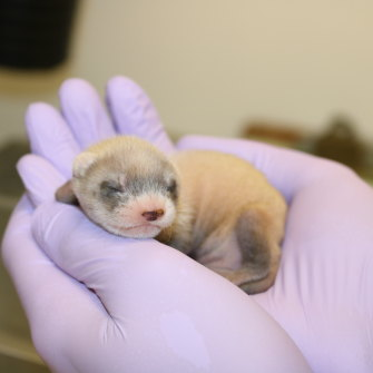 """""""People just fell in love with Elizabeth Ann,"""" Novak says of the cloned blackfooted ferret, pictured here as a baby."""