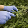 Rules relaxed as WA GPs get go-ahead to prescribe medical cannabis