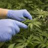 Should WA loosen its control of medicinal cannabis prescriptions? Here are the arguments