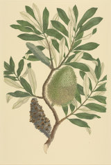Finished watercolour by Sydney Parkinson made during Captain James Cook's first voyage across the Pacific, 1768-1771.