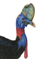 A cassowary.