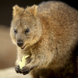 Noongar words such as quokka leap from the Macquarie.