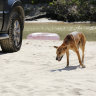 Rangers urge toddler's saviours to come forward after dingo attack