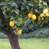 The secret to growing citrus in your garden