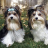 New 'petnup' rules allow New York divorce judges to decide who is best pet parent