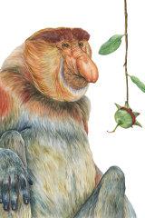 The proboscis monkey.
