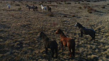 Wild brumbies could be removed from the Bogong High Plains.