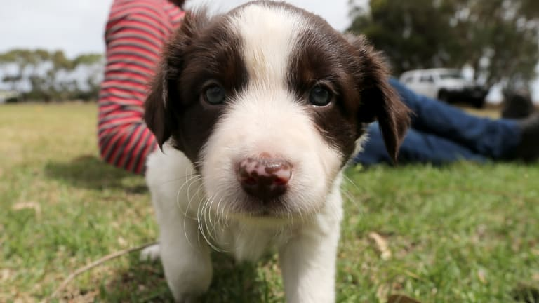 The border collie puppies used in the alleged fraud were found safe and well. (FILE PIC)