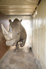 The rhinos were coaxed into the crates with food rewards.