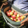 A cash bonus will be offered to Victorian fruit pickers.