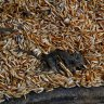 Farmers welcome $100 million support as 'first step' to battle mouse plague