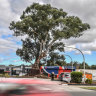 After 300 years, 'splendid' red gum will be felled for North East Link