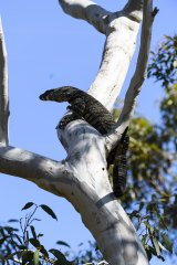 A goanna, also known as a lace monitor, on the look-out for lunch in the Royal National Park, south of Sydney.