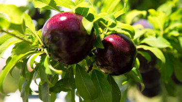 The Queen Garnet plum variety is dark-purple in colour.