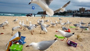 Rubbish left at Bondi Beach attracts the interests of a large group of seagulls.