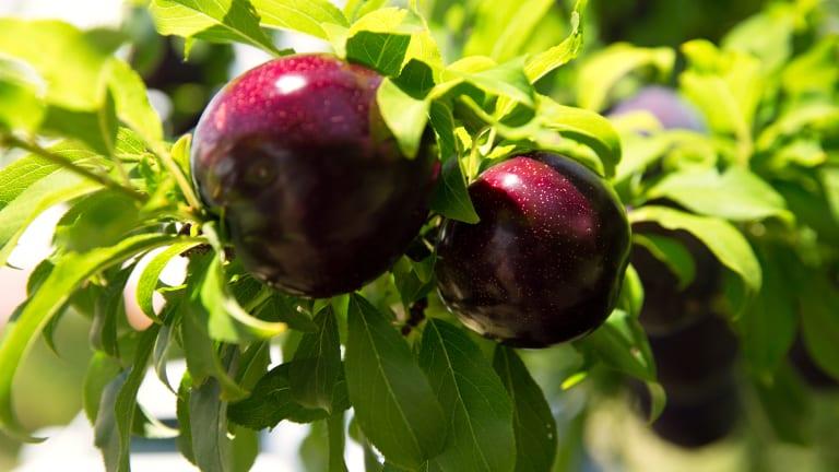 The Queen Garnet plum variety is dark-purple in colour.